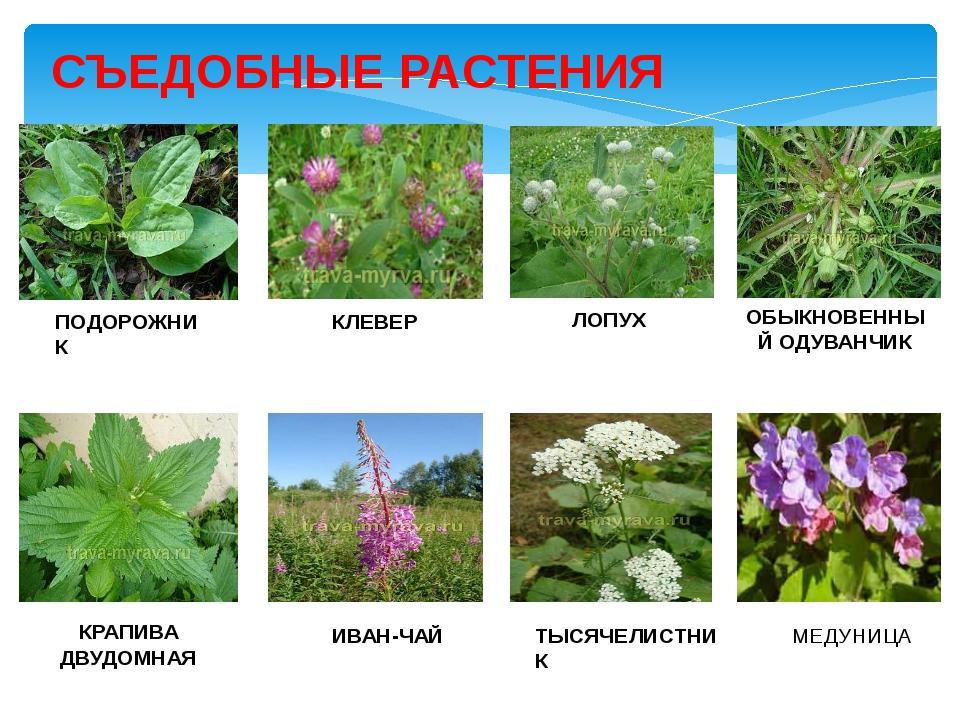 главный его съедобные дикорастущие растения фото с названиями правильно