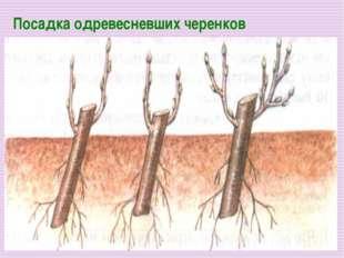 Посадка одревесневших черенков