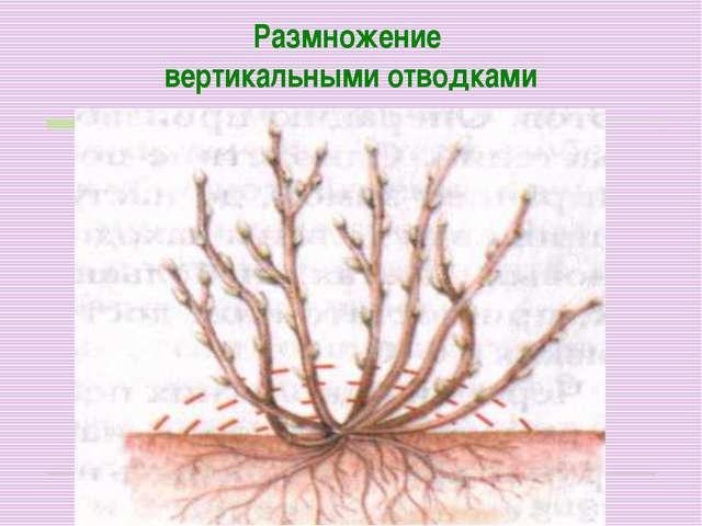 Размножение вертикальными отводками