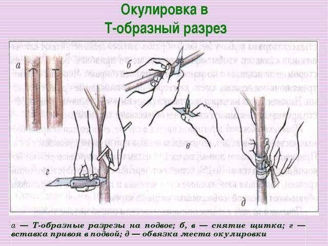 Окулировка в Т-образный разрез
