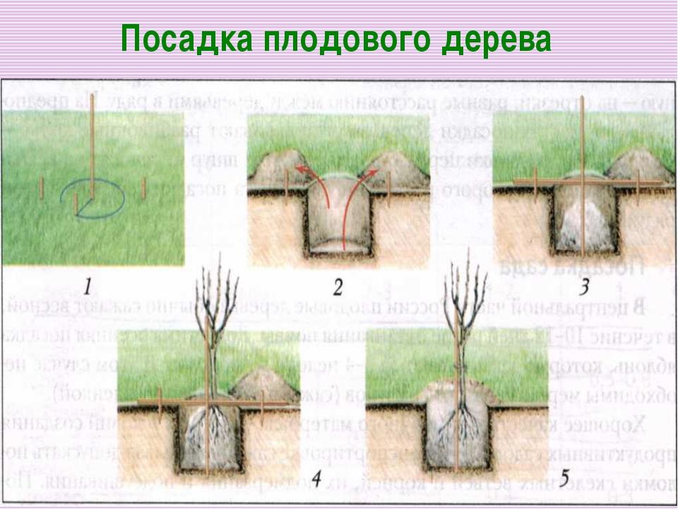 Как сажать привитое дерево 94