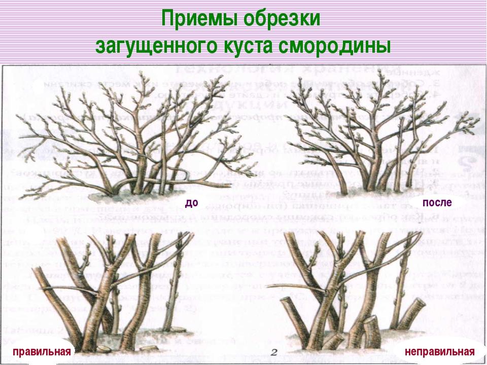 Приемы обрезки загущенного куста смородины правильная неправильная до после