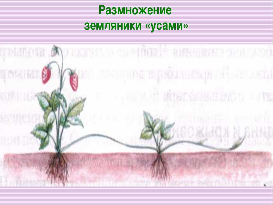 Размножение земляники «усами»
