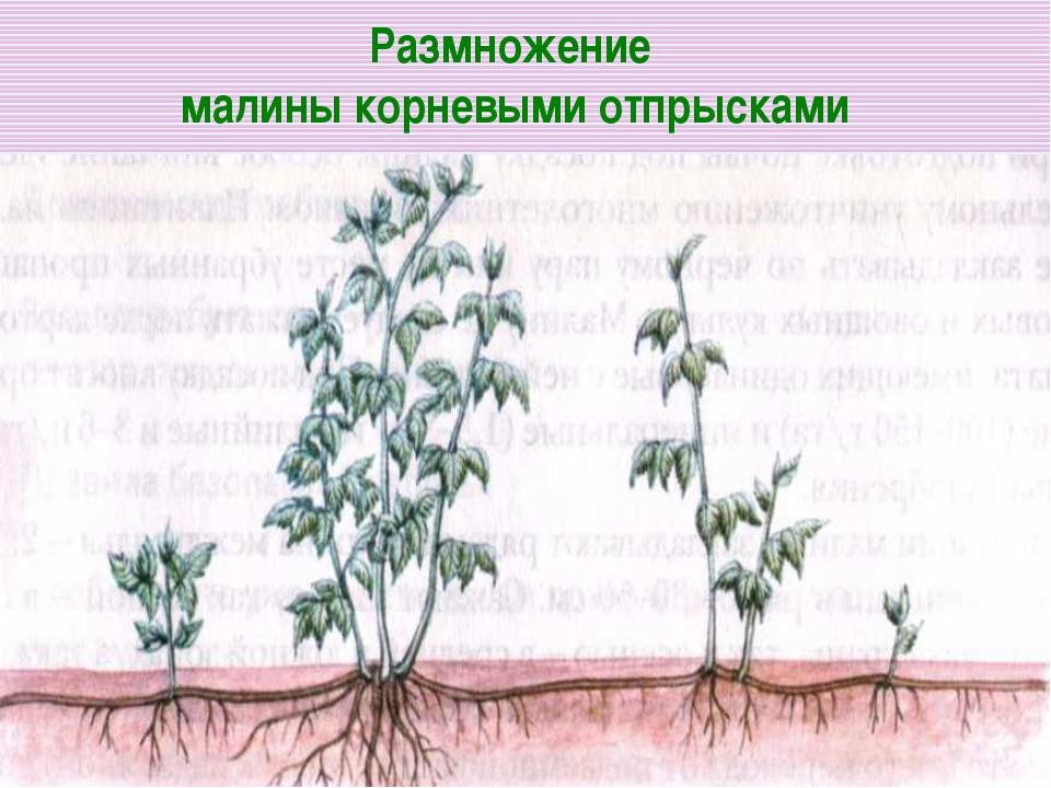 Как размножают малину