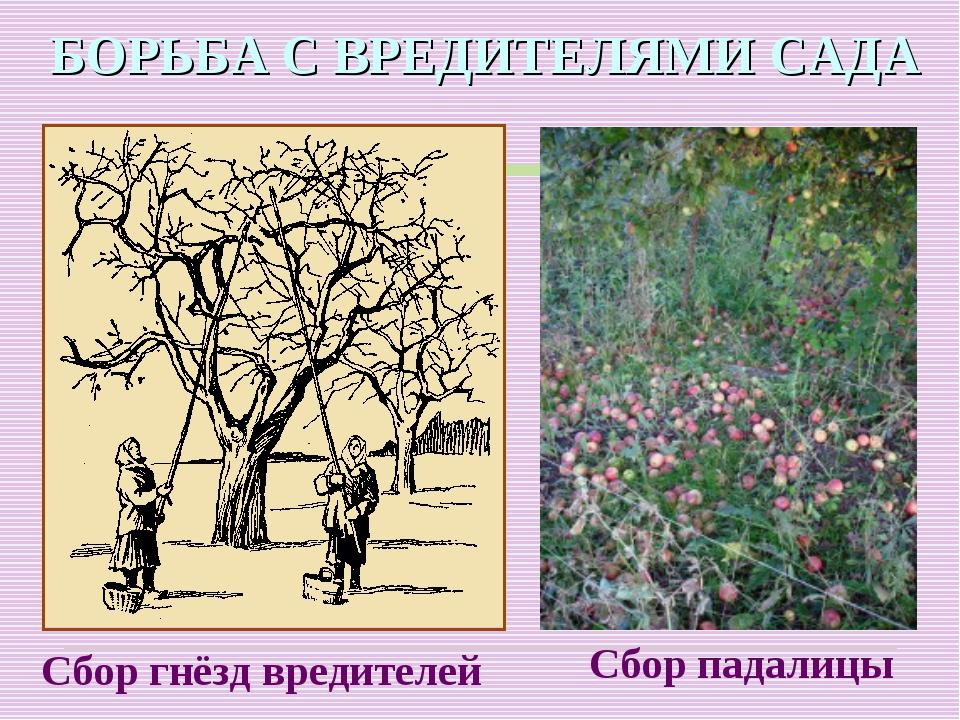 БОРЬБА С ВРЕДИТЕЛЯМИ САДА Сбор гнёзд вредителей Сбор падалицы