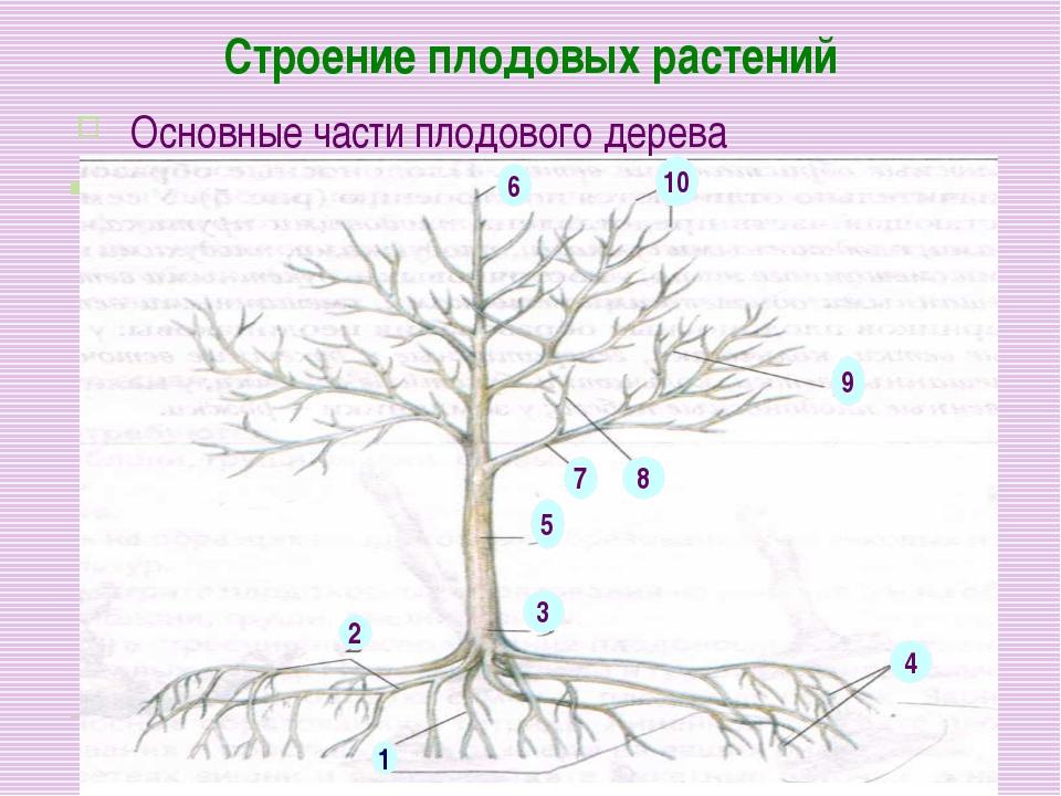Строение плодовых растений Основные части плодового дерева 1 2 3 4 5 6 7 8 9 10