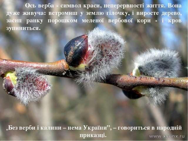 Ось верба - символ краси, неперервності життя. Вона дуже живуча: встромиш у...