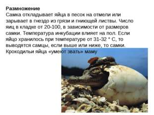 Размножение Самка откладывает яйца в песок на отмели или зарывает в гнездо из