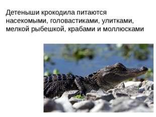 Детеныши крокодила питаются насекомыми, головастиками, улитками, мелкой рыбеш