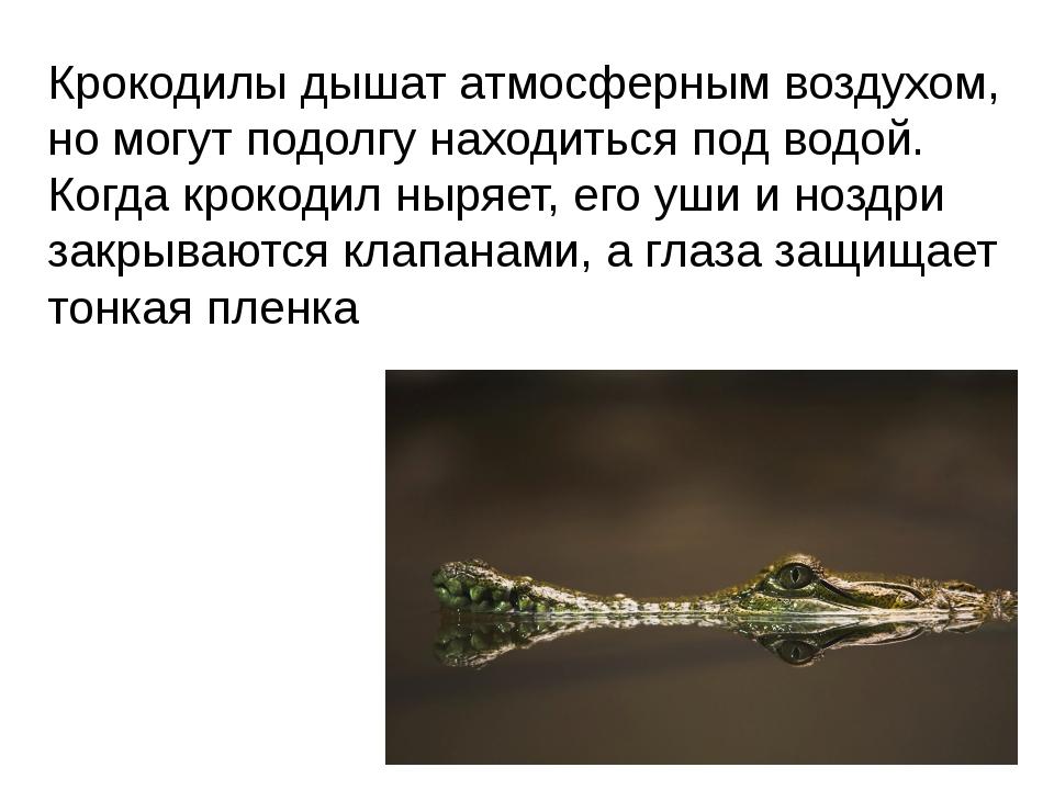 Крокодилы дышат атмосферным воздухом, но могут подолгу находиться под водой....