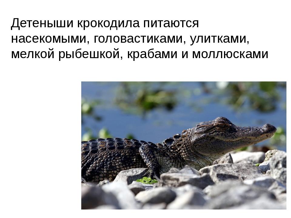 Детеныши крокодила питаются насекомыми, головастиками, улитками, мелкой рыбеш...