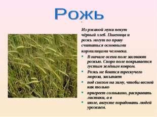 Из ржаной муки пекут чёрный хлеб. Пшеница и рожь могут по праву считаться ос