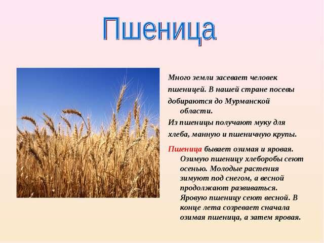 Много земли засевает человек пшеницей. В нашей стране посевы добираются до М...