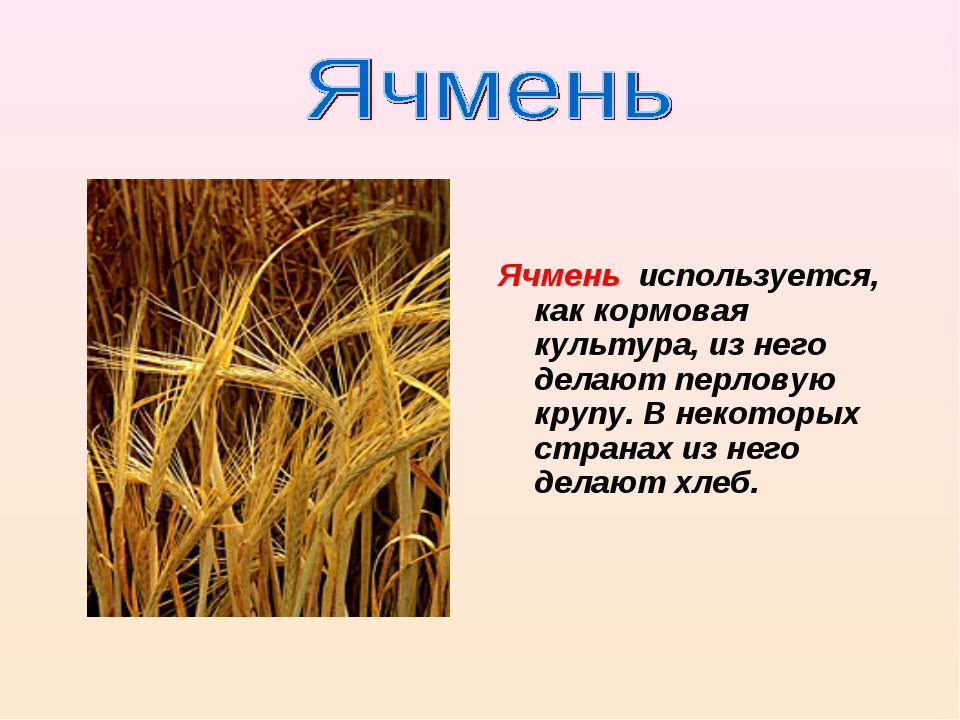 Ячмень используется, как кормовая культура, из него делают перловую крупу. В...