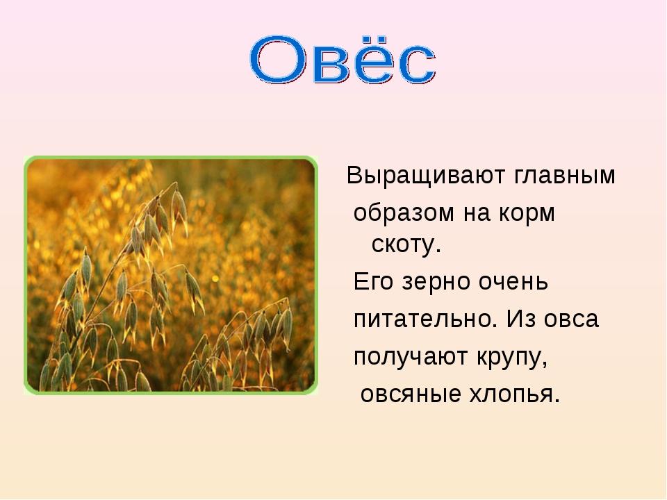 Выращивают главным образом на корм скоту. Его зерно очень питательно. Из овс...