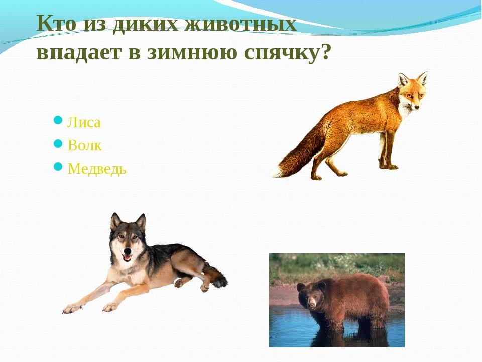 Кто из диких животных впадает в зимнюю спячку? Лиса Волк Медведь
