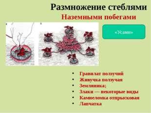 Размножение стеблями Наземными побегами «Усами» Гравилат ползучий Живучка пол