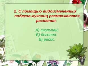 2. С помощью видоизмененных побегов-луковиц размножаются растения: А) тюльпан