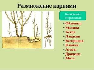 Размножение корнями Корневыми отпрысками Облепиха Малина Астра Ландыш Валериа