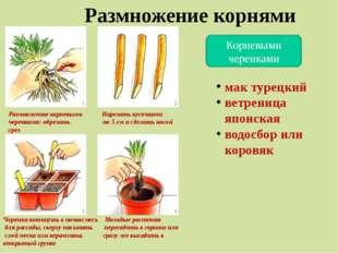 Размножение корнями Корневыми черенками Размножение корневыми Нарезать кусочк