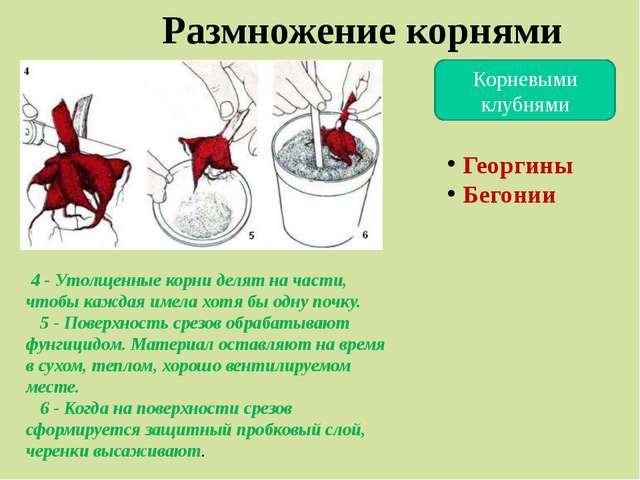 Корневыми клубнями Размножение корнями 4 - Утолщенные корни делят на части, ч...