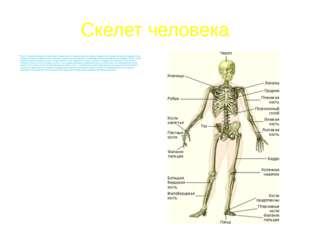 Скелет человека Скелет туловища образуют позвоночник и грудная клетка. Грудны