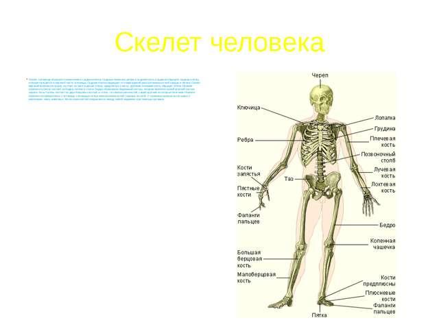 Скелет человека Скелет туловища образуют позвоночник и грудная клетка. Грудны...