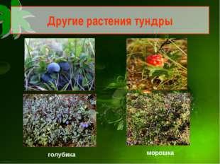 Другие растения тундры голубика морошка