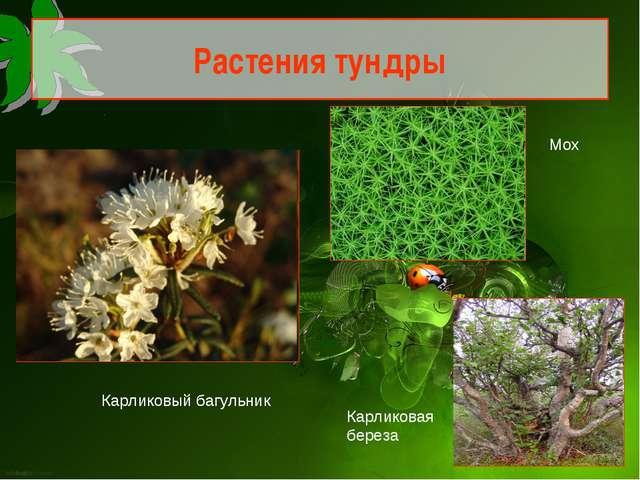 Растения тундры Карликовый багульник Мох Карликовая береза