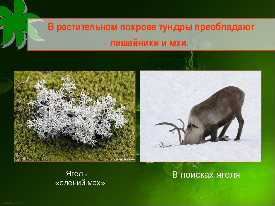 В растительном покрове тундры преобладают лишайники и мхи. Ягель «олений мох»...