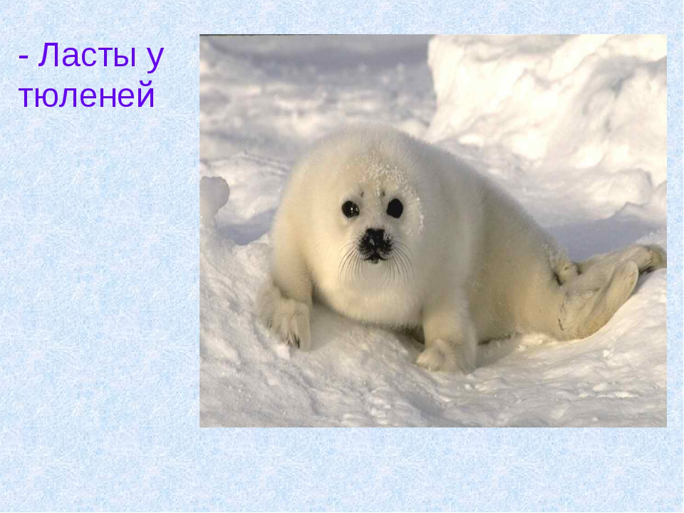 - Ласты у тюленей