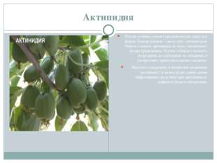 Актинидия Плоды зеленые, имеют продолговатую округлую форму. Размер плодов –