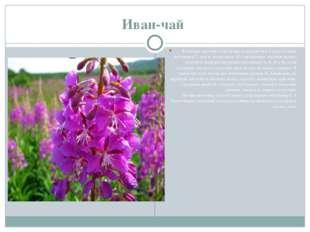 Иван-чай В свежих листьях этой травы содержится в 3 раза больше витамина C, ч