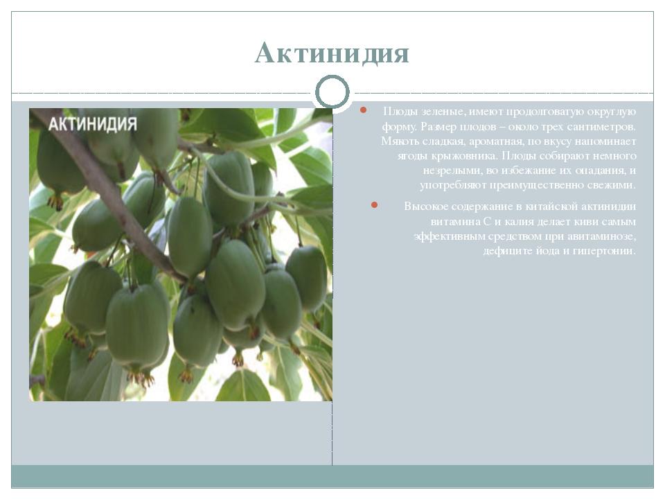 Актинидия Плоды зеленые, имеют продолговатую округлую форму. Размер плодов –...