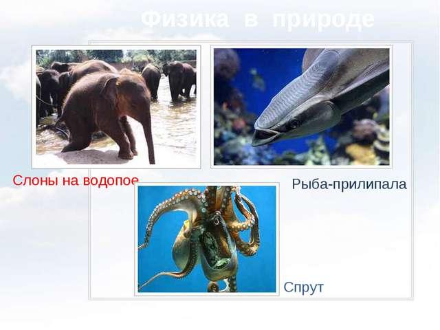 Физика в природе Слоны на водопое Спрут Рыба-прилипала