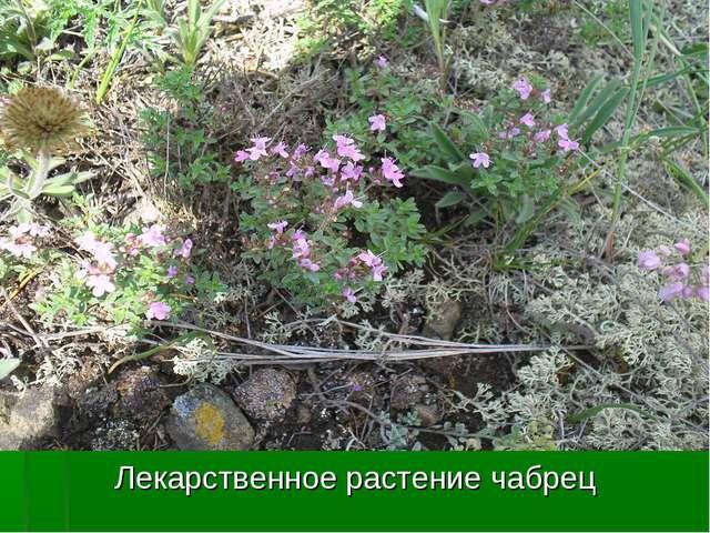 Лекарственное растение чабрец