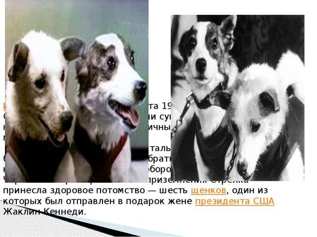 Белка (вторая) и Стрелка 19 августа 1960 года собаки Белка и Стрелка стали пе...