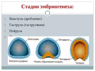Стадии эмбриогенеза: Бластула (дробление) Гаструла (гаструляция) Нейрула Прои