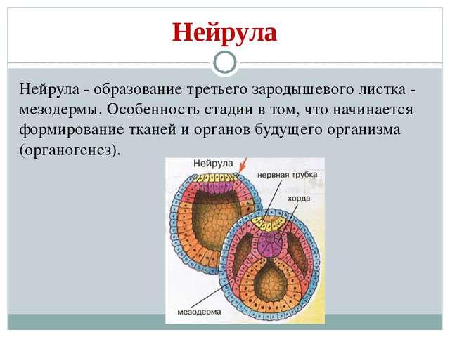 Нейрула Нейрула - образование третьего зародышевого листка - мезодермы. Особе...