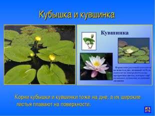 Кубышка и кувшинка Корни кубышки и кувшинки тоже на дне, а их широкие листья