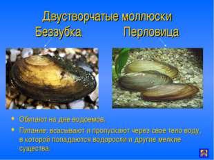 Двустворчатые моллюски Беззубка Перловица Обитают на дне водоемов. Питание: в
