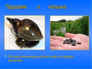 Прудовик и катушка Эти растительноядные улитки живут на водных растениях.
