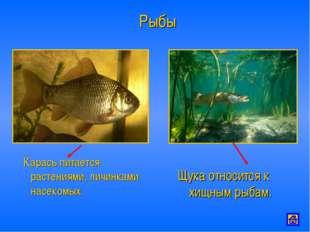Рыбы Карась питается растениями, личинками насекомых. Щука относится к хищным