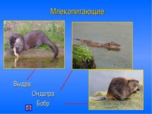 Млекопитающие Выдра Ондатра Бобр