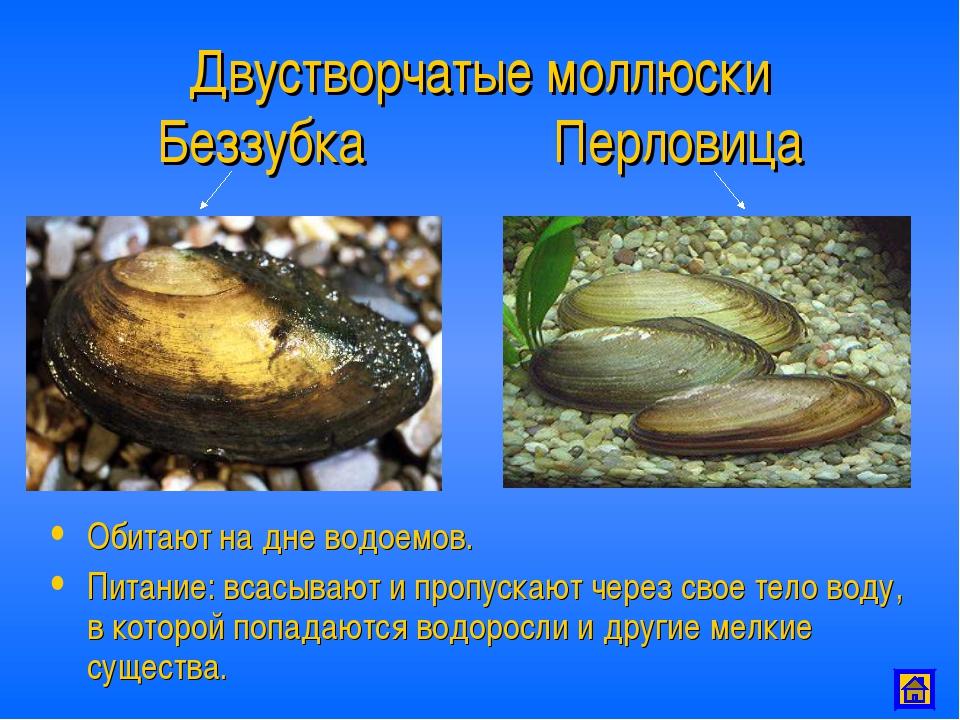Двустворчатые моллюски Беззубка Перловица Обитают на дне водоемов. Питание: в...
