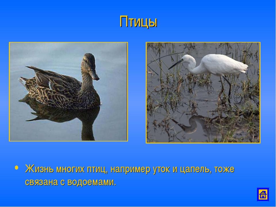 Птицы Жизнь многих птиц, например уток и цапель, тоже связана с водоемами.