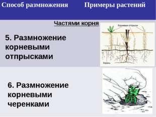 Частями корня 5. Размножение корневыми отпрысками 6. Размножение корневыми че