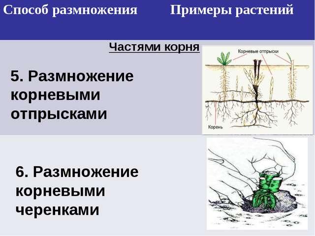 Частями корня 5. Размножение корневыми отпрысками 6. Размножение корневыми че...
