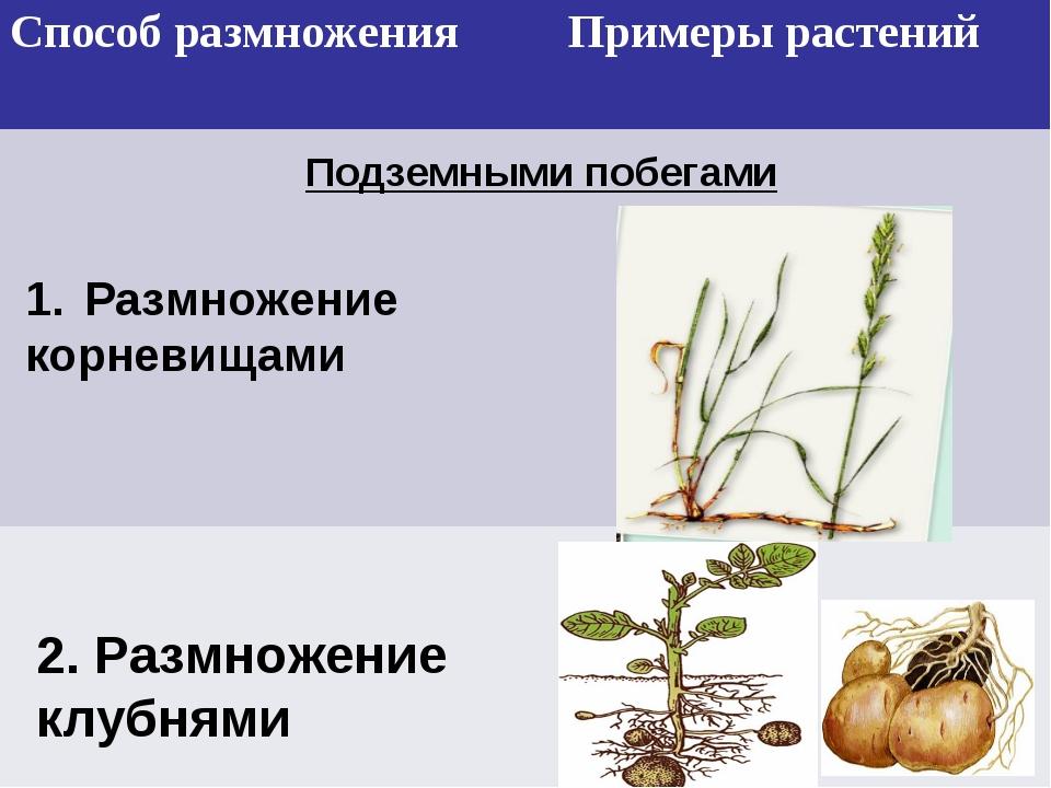 Подземными побегами Размножение корневищами 2. Размножение клубнями Способ...