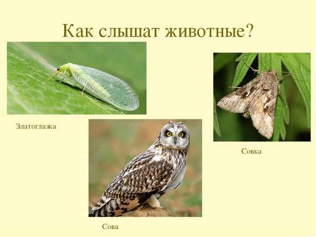 Как слышат животные? Златоглазка Совка Сова